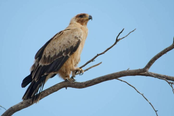Raubadler / Tawny eagle / Aquila rapax