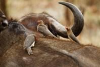 Rotschnabelmadenhacker / Red-billed Oxpecker / Buphagus erythrorhynchus