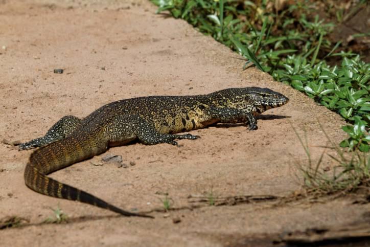Nilwaran / Nile monitor / Varanus niloticus