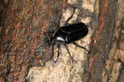 Blatthornkäfer / Scarab beetles, Lamellicorn beetles / Scarabaeidae