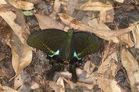 Paris Pfau / Paris Peacock / Papilio paris