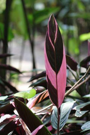 Helikoniengewächse / Heliconiaceae