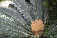 Japanischer Sagopalmfarn / Japanese Sago Palm / Cycas revoluta