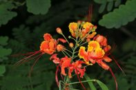 Pfauen-Strauch, Stolz von Barbados / Poinciana, Peacock Flower, Red Bird of Paradise, Mexican Bird of Paradise, Dwarf Poinciana, Pride of Barbados, and flamboyan-de-jardin / Caesalpinia pulcherrima
