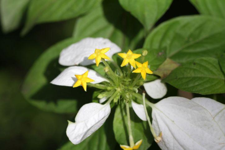 Rötegewächse / Coffee, madder, Bedstraw family / Rubiaceae