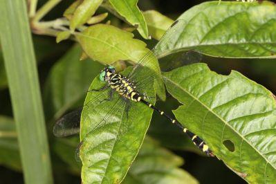Flussjungfern / Club-tailed dragonflies / Gomphidae