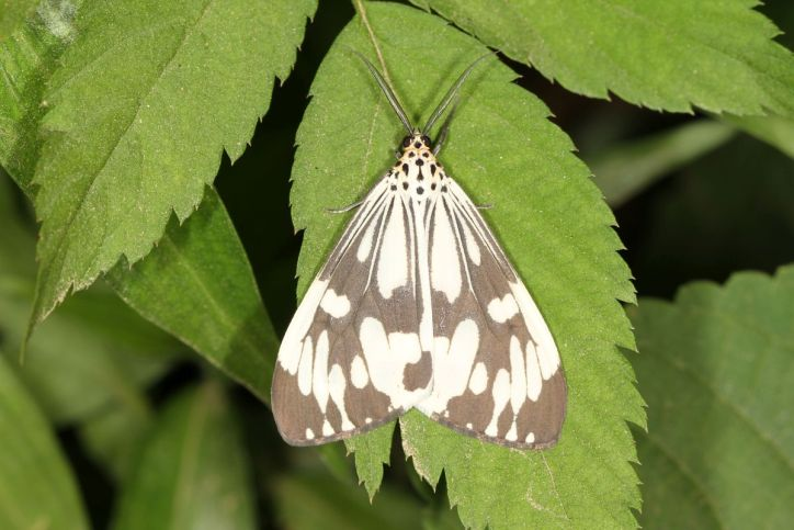 Marbled white moth / Nyctemera adversata