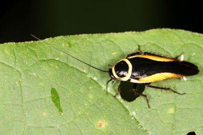 Schaben / Blattidae