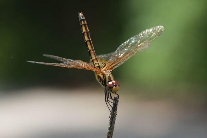 Trithemis sp.