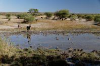 Ellipsen-Wasserbock / Waterbuck / Kobus ellipsiprymnus