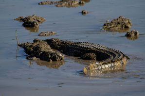 Nilkrokodil / Nile Crocodile / Crocodylus niloticus