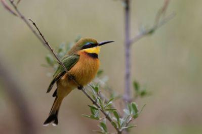 Zwergspint / Little bee-eater / Merops pusillus