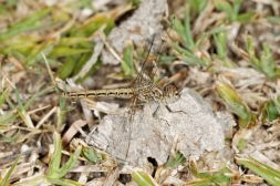 Großlibellen / Dragonflies / Anisoptera