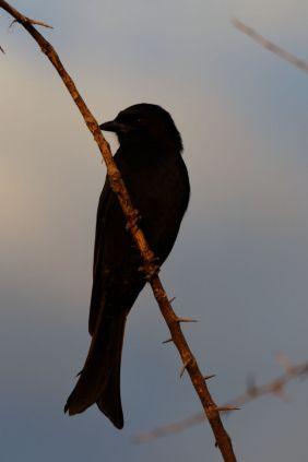 Trauerdrongo / Fork-tailed Drongo / Dicrurus adsimilis