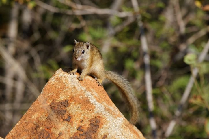 Smith-Buschhörnchen / Smith's bush squirrel / Paraxerus cepapi