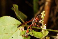 African paper wasp / Belonogaster juncea