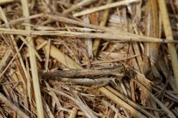 Feldheuschrecken / Grasshoppers, Short-horned grasshoppers / Acrididae