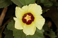 Malvengewächse / Mallows / Malvaceae