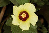 Afrikanische Baumwolle / Gossypium herbaceum subsp. africanum