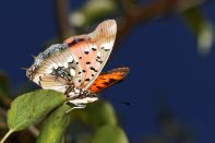 Edelfalter / Brush-footed butterflies / Nymphalidae