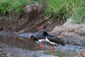 Schwarzstorch / Black stork / Ciconia nigra