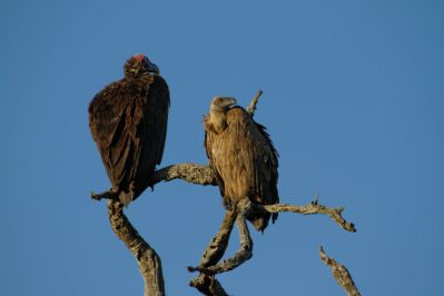 Ohrengeier / Lappet-faced vulture / Torgos tracheliotus