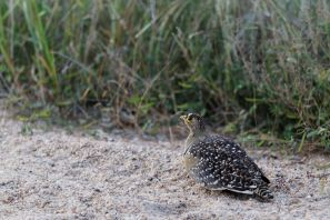 Doppelband-Flughuhn / Double-banded sandgrouse / Pterocles bicinctus