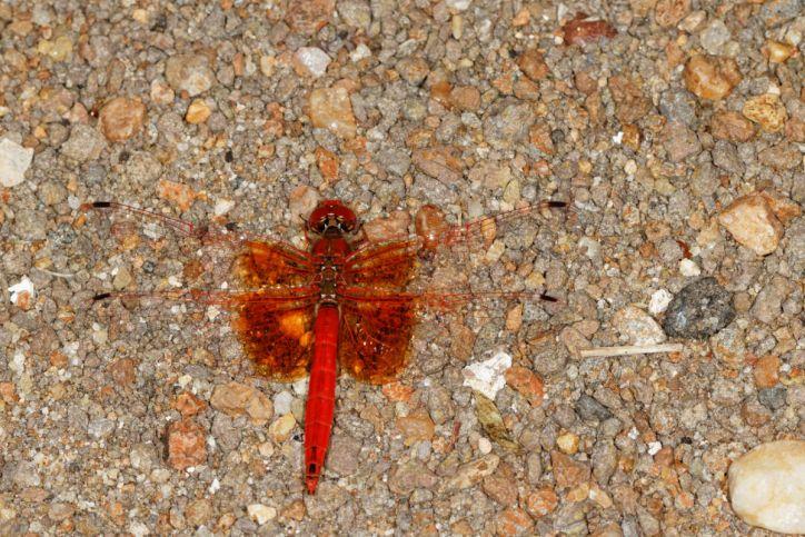 Red groundling / Red groundling / Brachythemis lacustris