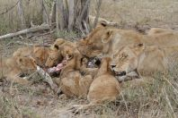 Löwe / Lion / Panthera leo