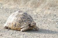 Pantherschildkröte / Leopard tortoise / Stigmochelys pardalis ?