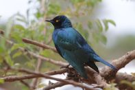 Glanzstar / Glossy Starling / Lamprotornis sp.