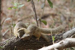 Fuchsmanguste / Yellow Mongoose / Cynictis penicillata