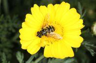 Totenkopfschwebfliege auf Kronenwucherblume