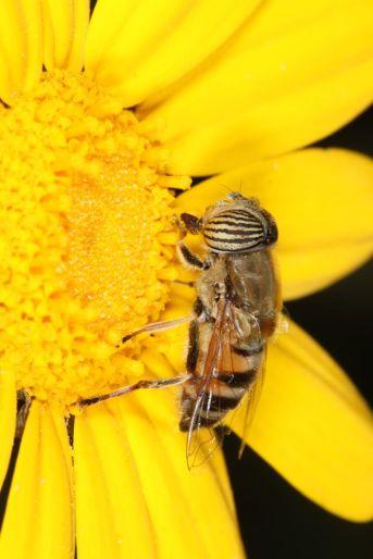 Band-eyed drone fly auf Kronenwucherblume