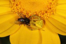 Veränderliche Krabbenspinne mit Fliege