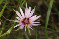 Blüte eines Bocksbartes