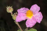 Blüte und Knospe einer Zistrose