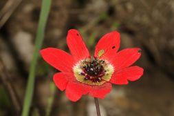 Blüte einer Pfauen-Anemone mit Wanze