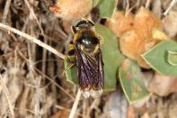 Goldhaar-Langbauchschwebfliege