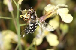 Späte Großstirnschwebfliege auf Blüte