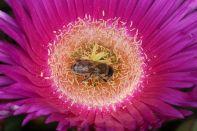 Honigbiene auf Carpobrotus sp.