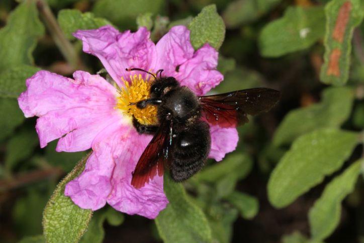 Große Holzbiene / Violet carpenter bee / Xylocopa violacea