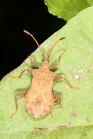 Lederwanze / Dock bug / Coreus marginatus