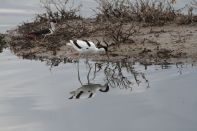 Säbelschnäbler / Pied Avocet / Recurvirostra avosetta im Nest