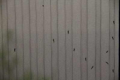 Stechmücken an Gitter der Balkontüre,
