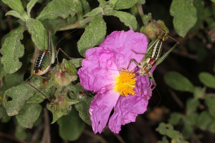 Sichelschrecken