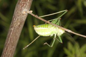 Poecilimon mytilenensis, male