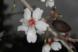 Mandelblüte und Frucht