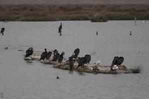 Kormorane und andere Vögel