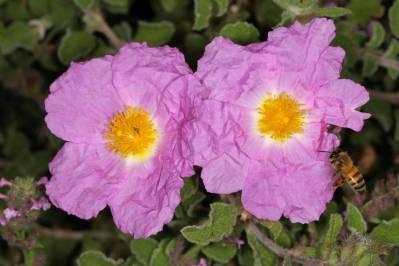 Blüte einer Kretischen Zistrose mit Honigbiene